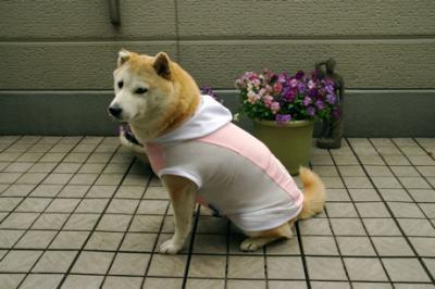 柴犬ファッションショー01