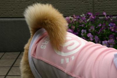 柴犬ファッションショー07