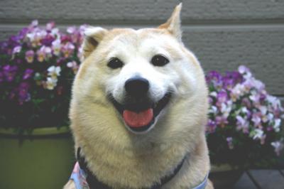 柴犬マック010