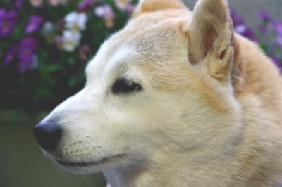 柴犬マック02