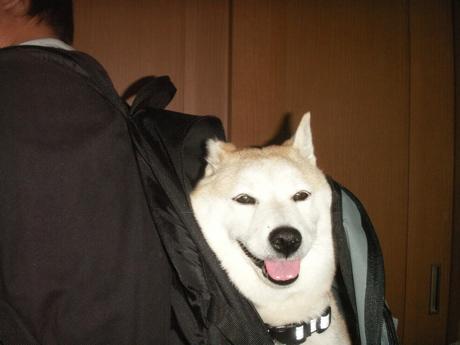 柴犬マック運搬方法07