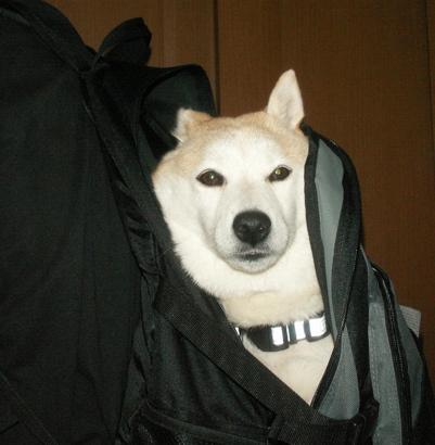 柴犬マック運搬方法08