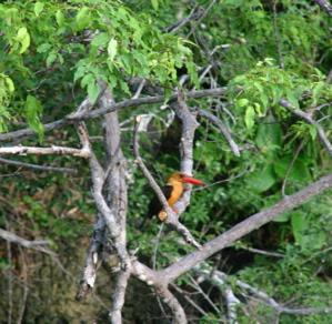 マングローブの森の生物03