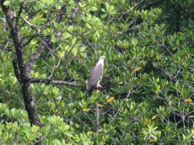 マングローブの森の生物04
