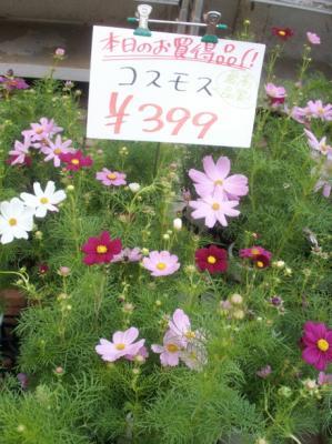 マック秋の花11