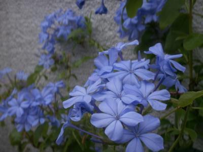 蒼い花04