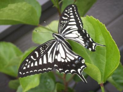 冬の蝶02