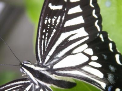 冬の蝶04