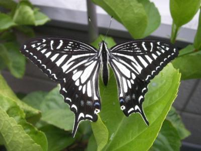 冬の蝶06