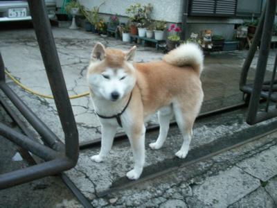 柴犬マックのボーイフレンド02