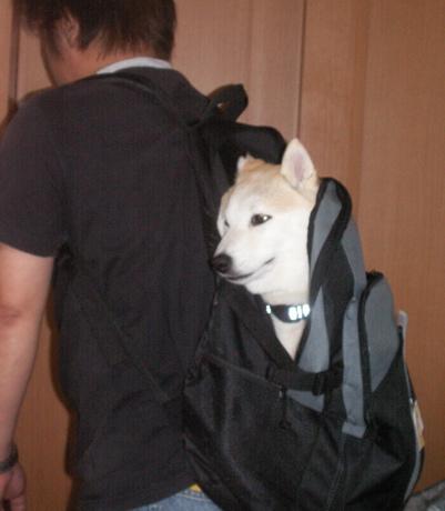柴犬マック運搬方法03