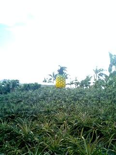 雑草みたいなのは全てパイナップルなのだ(・ω・)