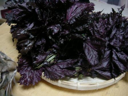 赤紫蘇.JPG