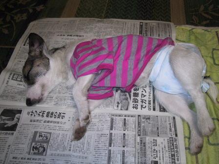 ももパパが読んでいた新聞の上で寝てしまったもも