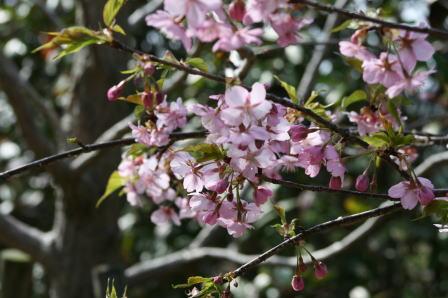 7分咲きの河津桜