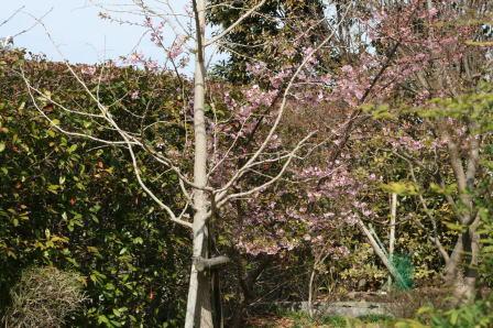 薄紅色の河津桜