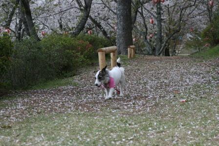 桜のじゅうたんの上を歩くもも