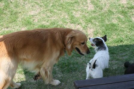 スタッフ犬のゴールデンともも