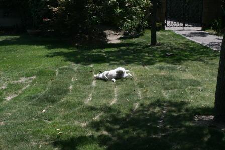 濡れた体を芝生に擦りつけるもも
