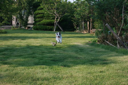 庭で訓練中のもも(2)