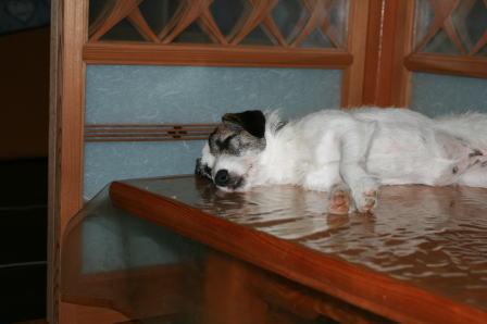飯台の上で眠るもも(1)