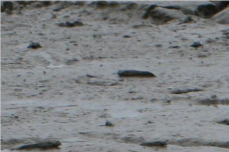 干潟に住むムツゴロウ