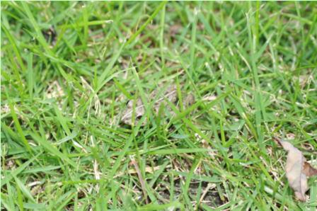 芝生の中のカエル