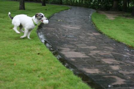 雨の中庭を走り回るもも(1)