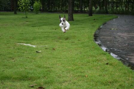雨の中庭を走り回るもも(2)