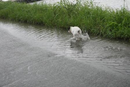水溜りの中を駆け回るもも(3)