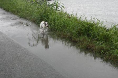 水溜りの中を駆け回るもも(4)