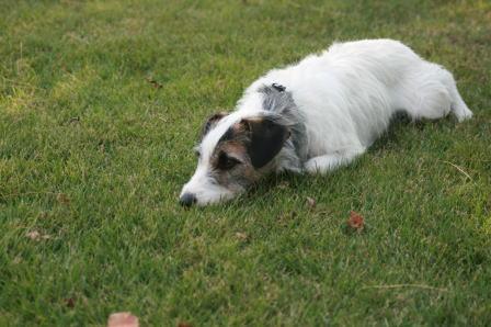 芝生の中で寝そべるもも(2)