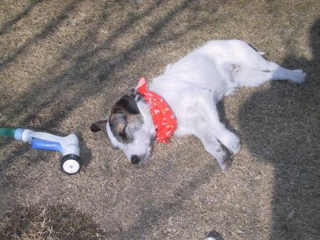 芝生の上でお昼寝中のもも