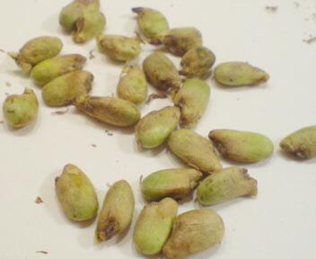 デリシオーサの種たち