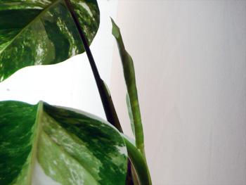 白斑アダンソニーの新芽