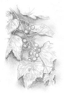 鉛筆デッサン -野葡萄-