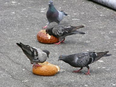 サワードゥをつつく鳩