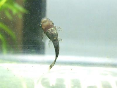 ミニブッシープレコの稚魚 - 14日後