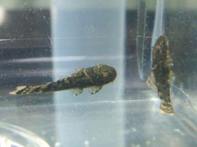 ミニブッシープレコの稚魚 - 28日後