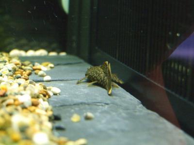 ミニブッシープレコの稚魚 - 133日後