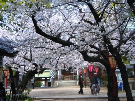 重なり合う桜