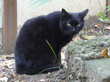 ハンサムな黒猫