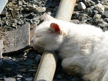 いつもの目つきの悪いネコもお昼寝