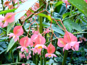 ベゴニアらしき花