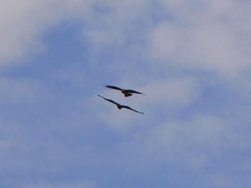 トンビ2羽