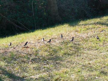 ムクドリが集まっています