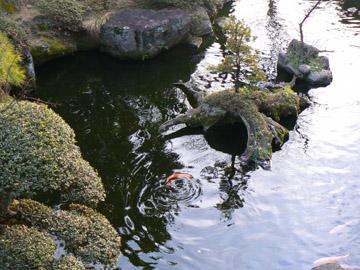 池の鯉も元気です