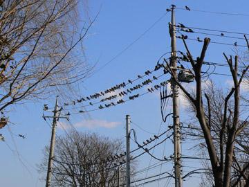 電線に鳩の大群です