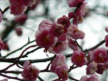 梅の花びら