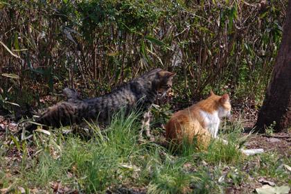 美猫とキジトラ
